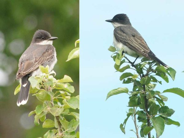 More Kingbirds