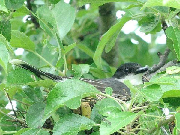 Kingbirds nesting in our apple trees